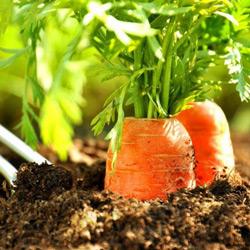 Бизнес на выращивании моркови 133