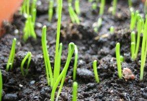 Получение сильной рассады ранних сортов лука