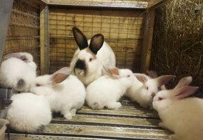 Стоит ли добавлять в корм для кроликов сорбенты
